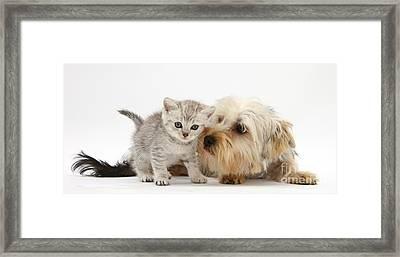 Yorkshire Terrier & Tabby Kitten Framed Print by Mark Taylor