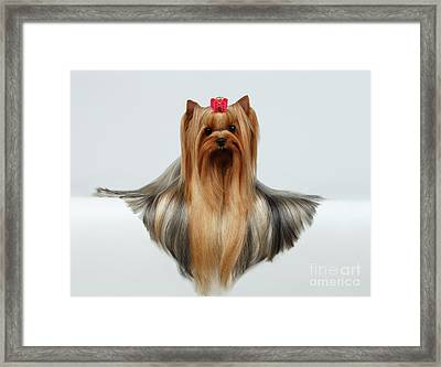 Yorkshire Terrier Dog With Long Groomed Hair Lying On White  Framed Print