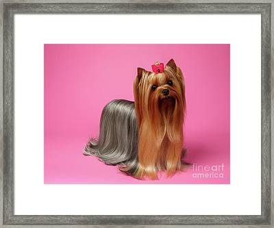 Yorkshire Terrier Dog With Long Groomed Hair Stands On Pink   Framed Print by Sergey Taran