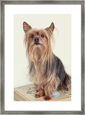 Yorkshire Terrier Posing On A Suitcase Framed Print