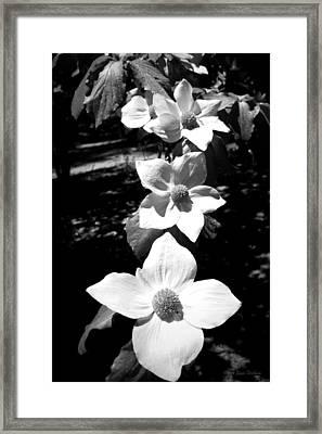 Yosemite Dogwoods Black And White Framed Print