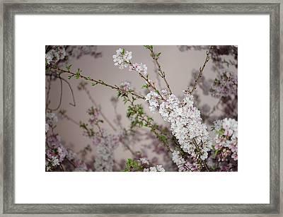 Yoshino Cherries Lavender Framed Print