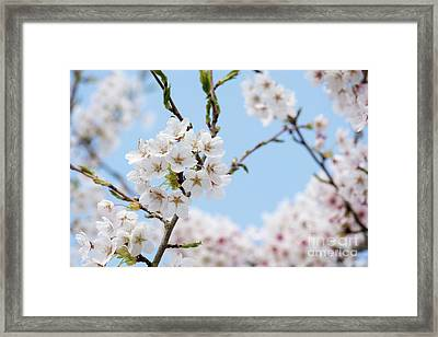 Yoshino Cherry Blossom Framed Print by Tim Gainey