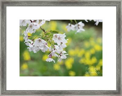 Yoshino Cherry Tree Blossom Framed Print by Tim Gainey