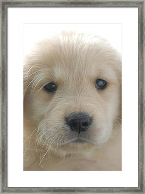 You Had Me At Woof - Golden Retriever Puppy Framed Print by Stan Fellerman