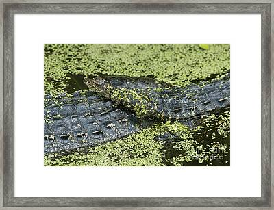 Young Alligator Framed Print by Anthony Mercieca