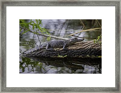 Young Alligator Framed Print by Brian Jannsen