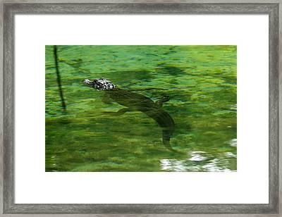 Young Alligator Framed Print