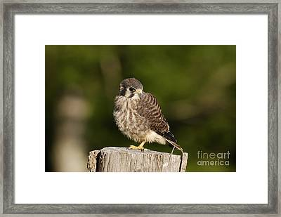 Young American Kestrel Framed Print by Randy Bodkins