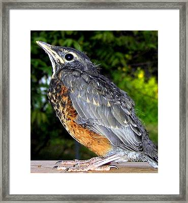 Young American Robin Framed Print