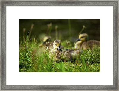 Framed Print featuring the photograph Young And Adorable by Karol Livote