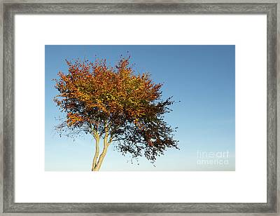 Young Autumn Beech Tree Framed Print by Tim Gainey