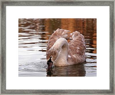 Young Beauty - Juvenile Mute Swan Framed Print by Gill Billington