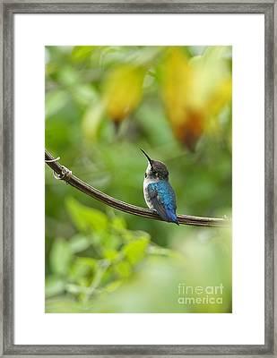 Young Bee Hummingbird Framed Print