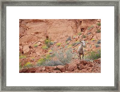 Framed Print featuring the photograph Young Big Horn Sheep  by Patricia Davidson