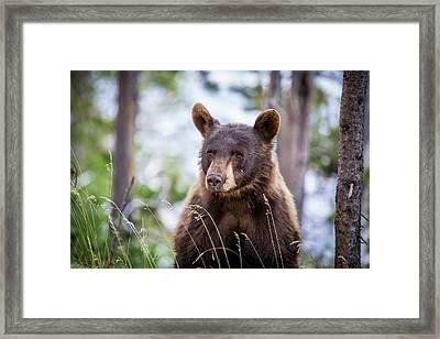 Young Black Bear Framed Print by Dan Pearce