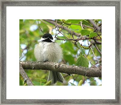 Framed Print featuring the photograph Young Black-capped Chickadee by Angie Rea