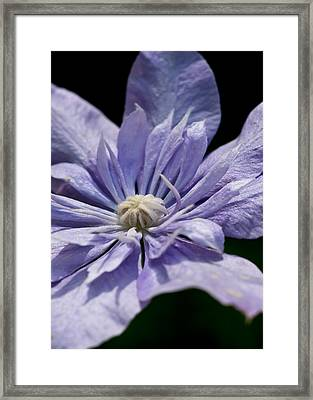 Young Blue Light Clematis Framed Print by Edward Myers