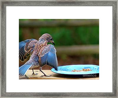Young Bluebird's Delight Framed Print by Sue Melvin