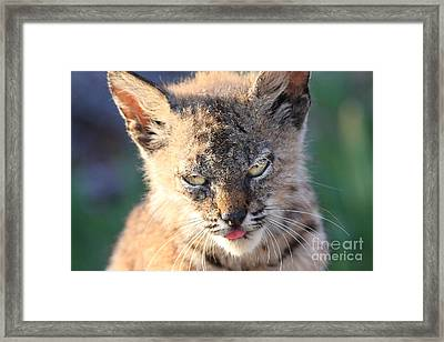 Young Bobcat 04 Framed Print