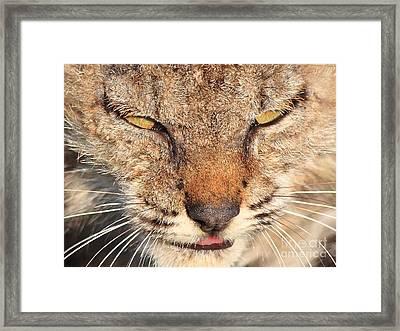 Young Bobcat Portrait 01 Framed Print