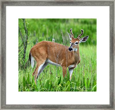 Framed Print featuring the photograph Young Buck by Barbara Bowen