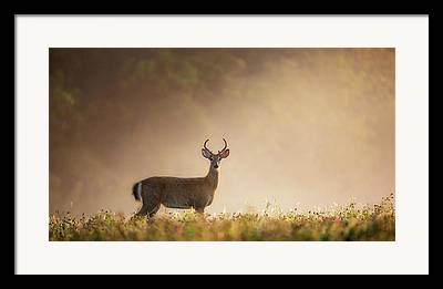 Whitetail Deer Photographs Framed Prints