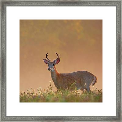 Young Buck Square Framed Print by Bill Wakeley