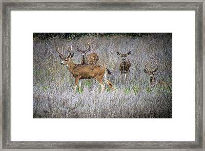 Young Bucks Framed Print