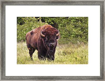 Young Buffalo Framed Print by Tamyra Ayles
