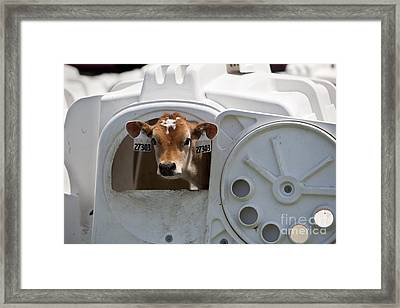 Young Calf Framed Print by Inga Spence