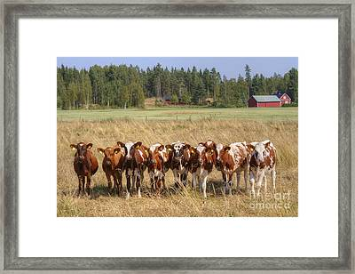 Young Calves On Pasture Framed Print by Veikko Suikkanen