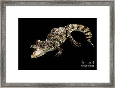 Young Cayman Crocodile, Reptile With Opened Mouth And Waved Tail Isolated On Black Background In Top Framed Print