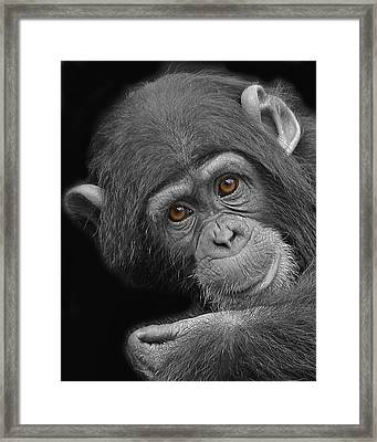 Young Chimpanzee Framed Print