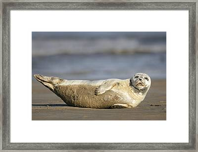 Young Common Seal Sleeping On The Beach Framed Print