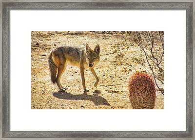 Young Coyote And Cactus Framed Print