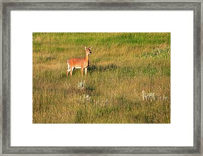 Young Deer Framed Print by Todd Klassy