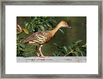 Young Duck Framed Print
