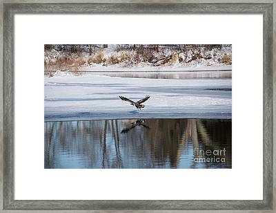 Young Eagle Reflection And Shadow Framed Print