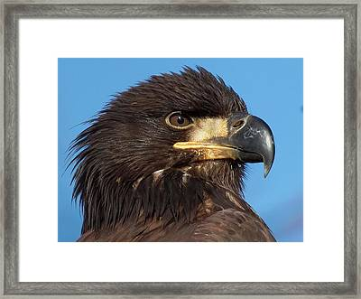 Young Eagle Head Framed Print by Sheldon Bilsker