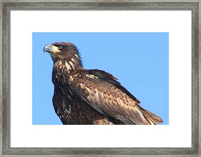 Young Eagle  Framed Print by Nick Gustafson