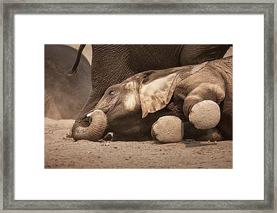 Young Elephant Lying Down Framed Print