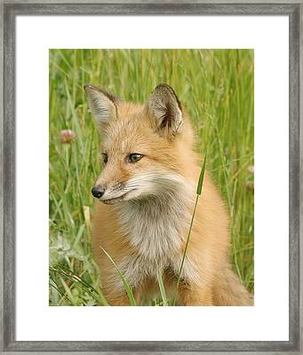 Framed Print featuring the photograph Young Fox by Doris Potter