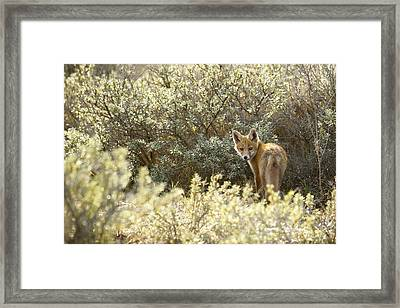 Young Fox Kit In Habitat Framed Print