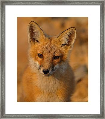 Young Fox Framed Print by William Jobes
