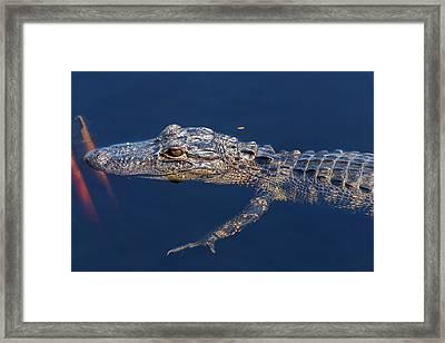 Young Gator 1 Framed Print