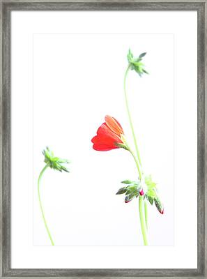 Young Geranium Fine Art Photography Print Framed Print by James BO  Insogna
