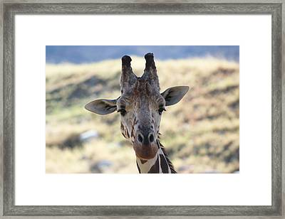 Young Giraffe Closeup Framed Print by Colleen Cornelius