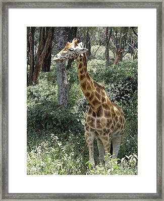 Young Giraffe Framed Print