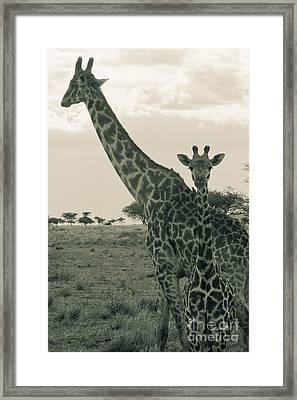 Young Giraffe With Mom In Sepia Framed Print by Darcy Michaelchuk